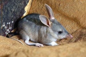 Ipswich has a new baby bilby and he needs a name!